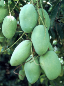 fresh green carabao mango